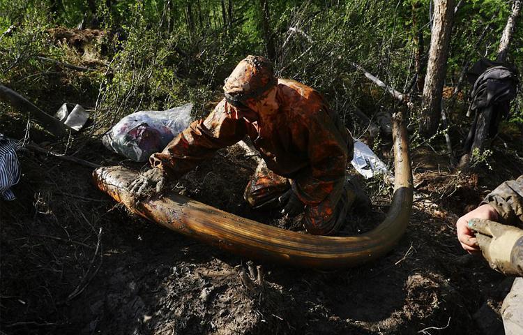 Theo chân những kẻ săn Ngà Voi cổ triệu đô tại Siberia, Nga