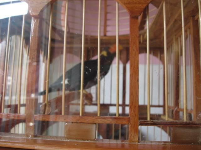 Chim Nhồng, chim Yểng Đang ọ ọe chuẩn bị tập nói